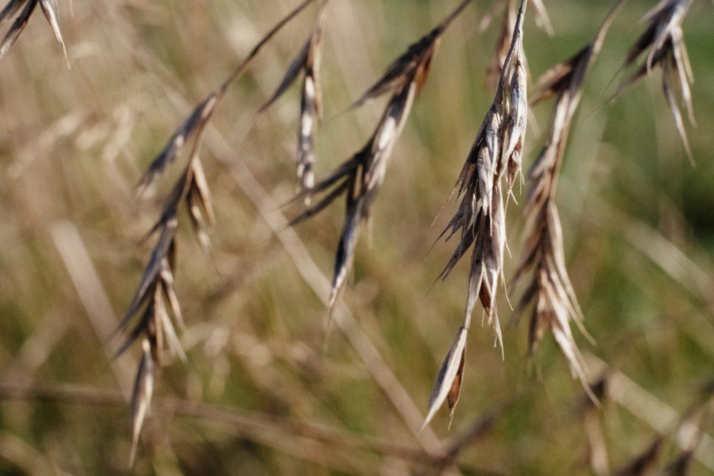 Wildgrass closeup 2 - free stock photo