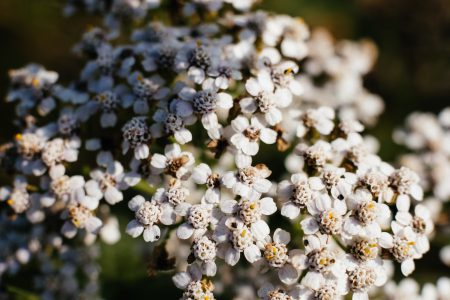 Yarrow wild flower closeup - free stock photo