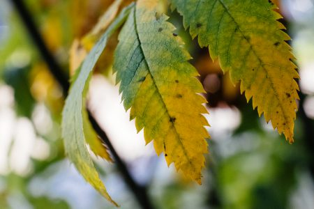 Yellow and green ash tree leaves - free stock photo