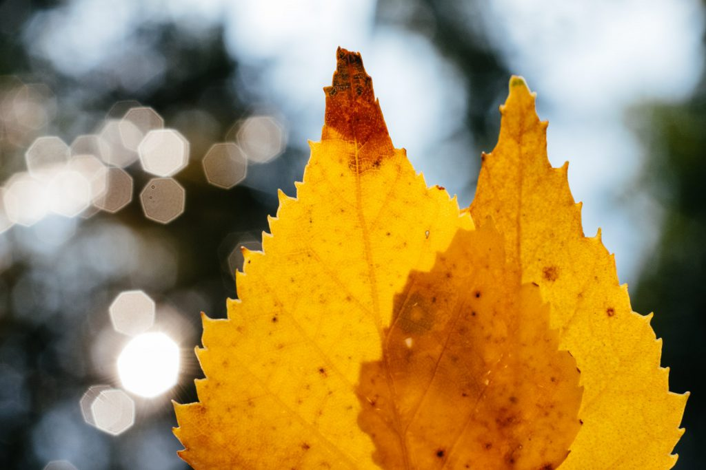 Yellow birch leaves and water bokeh - free stock photo