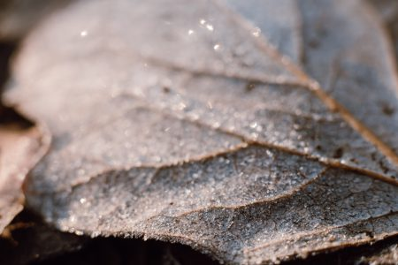 Frosted leaf closeup 2 - free stock photo