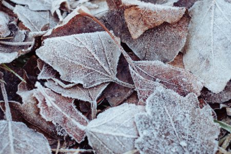Frosted leaves - free stock photo