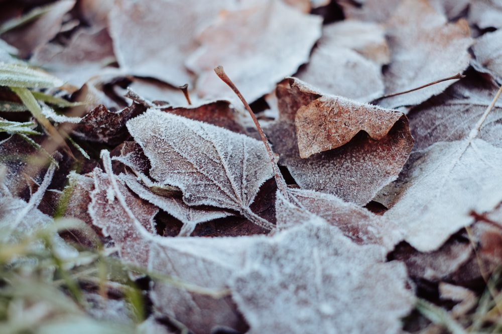 Frosted leaves 2 - free stock photo