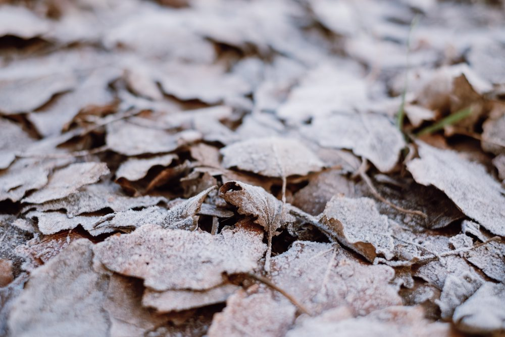 Frosted leaves 4 - free stock photo