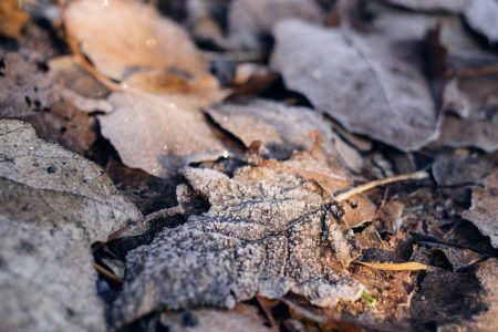 Frosted leaves 5 - free stock photo