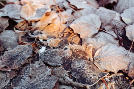 Frosted leaves 6 - free stock photo