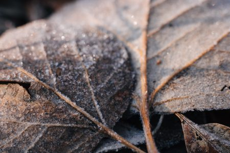 Frosted leaves closeup 2 - free stock photo