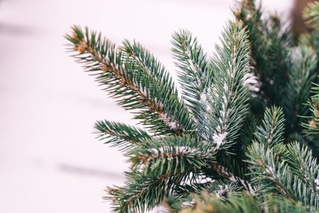 Snow covered spruce branch - free stock photo