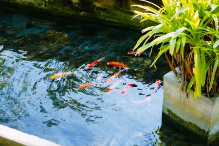 School of koi fish - free stock photo