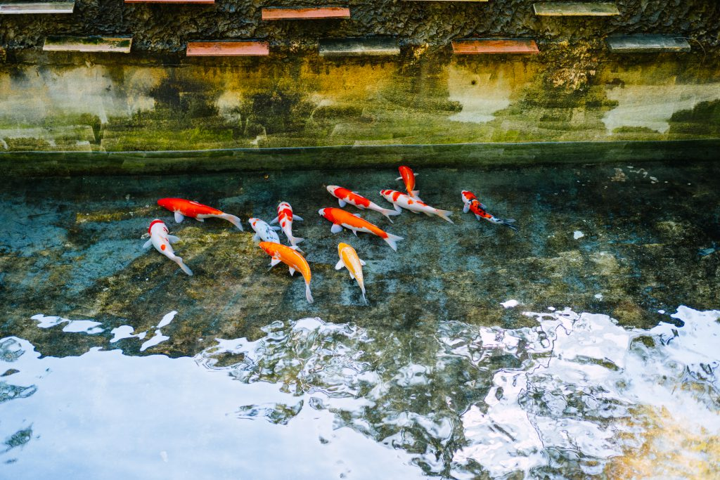 School of koi fish 2 - free stock photo