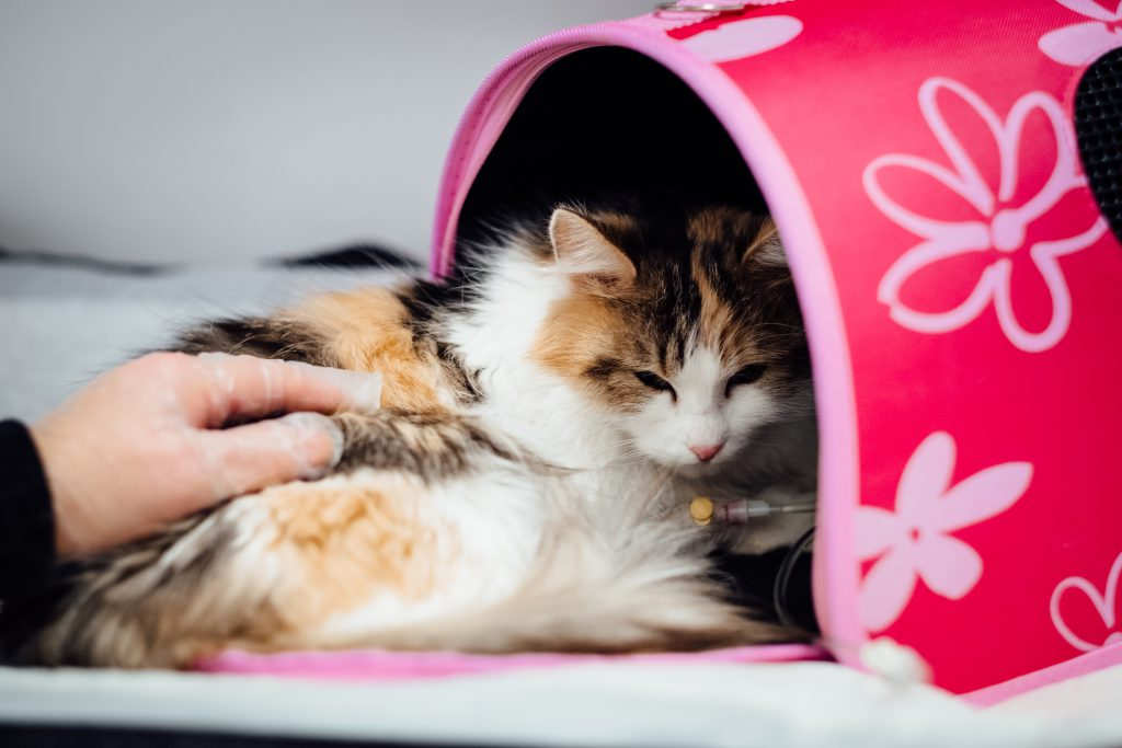 A cat having an IV fluid therapy - free stock photo