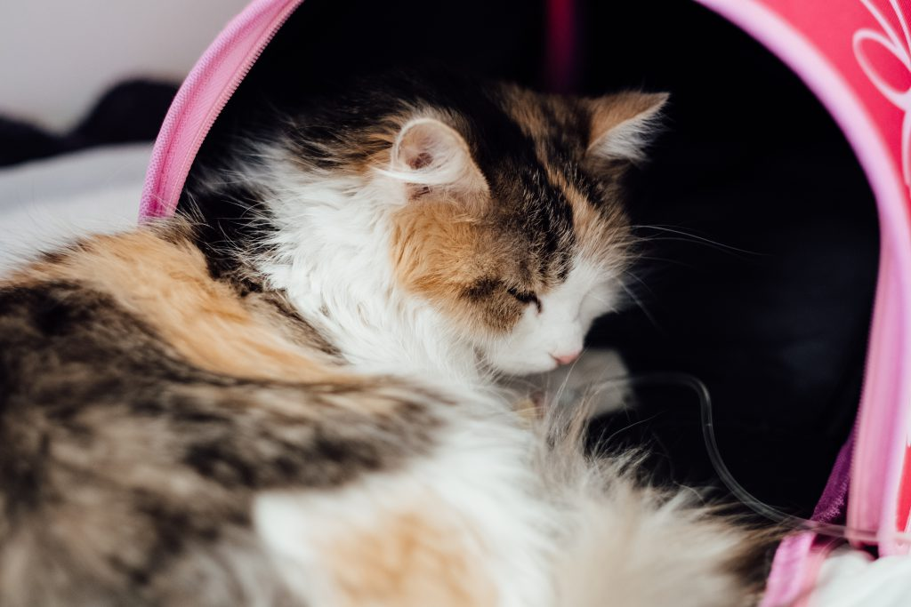 A cat having an IV fluid therapy 2 - free stock photo