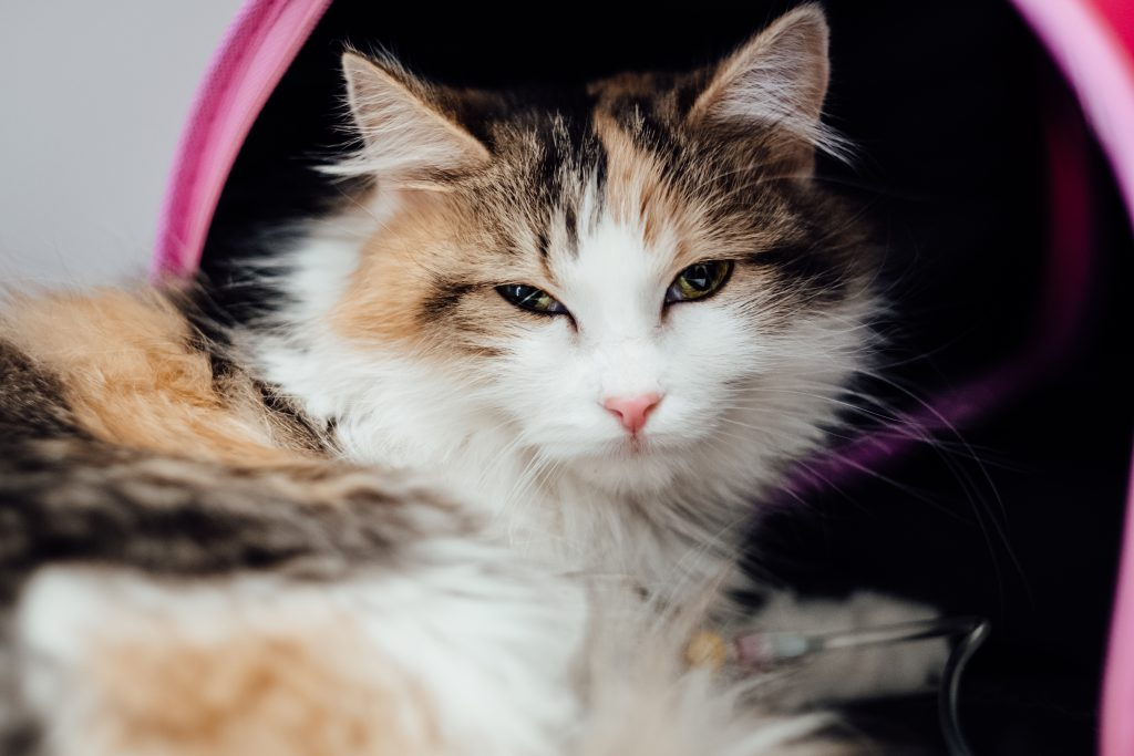 A cat having an IV fluid therapy 6 - free stock photo