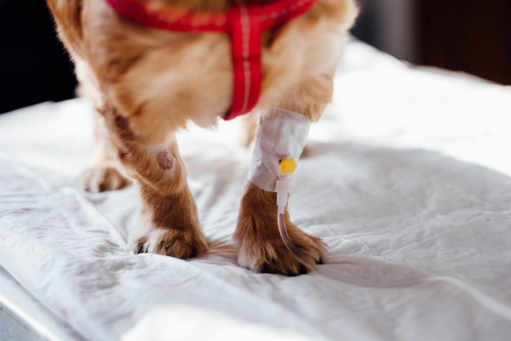 A dog having an IV fluid therapy - free stock photo