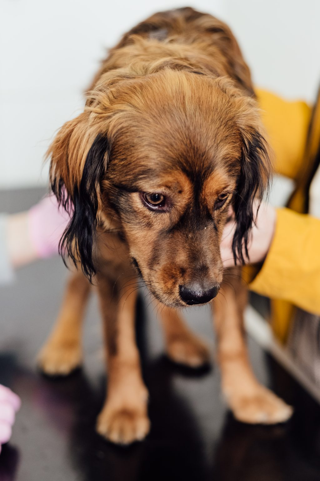 A puppy during a vet examination - free stock photo