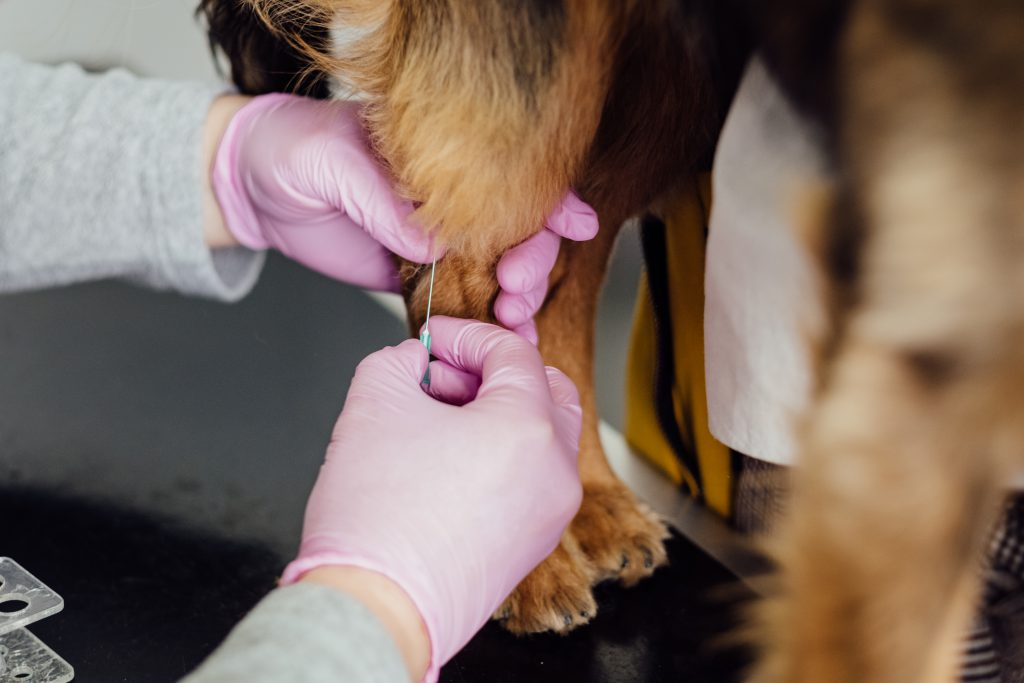 A vet taking a blood sample from a dog - free stock photo