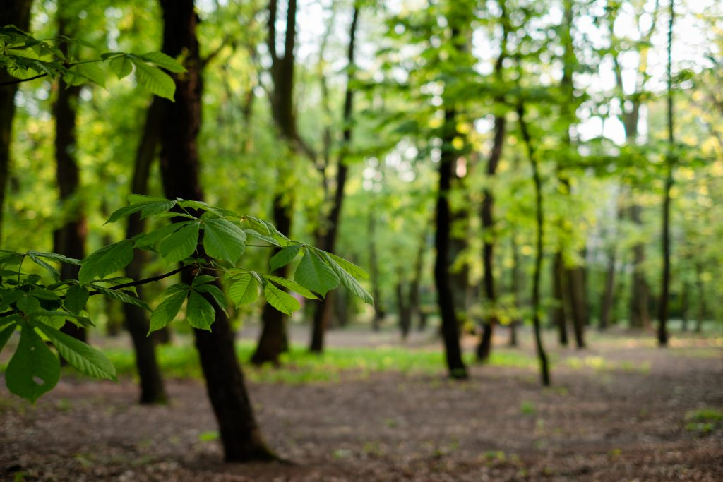 Chestnut tree branch in the park - free stock photo
