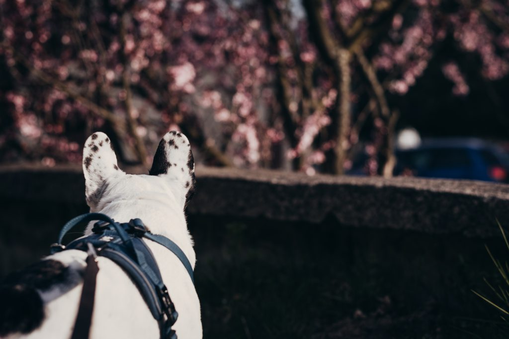 French Bulldog in a harness 2 - free stock photo