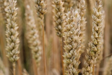 Wheat closeup - free stock photo