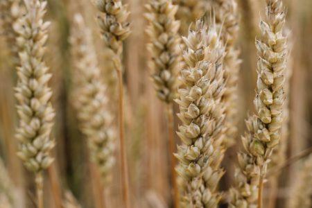 Wheat closeup - free stock photo