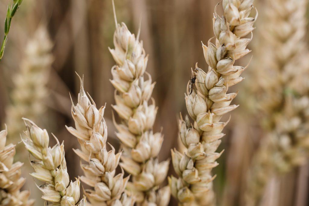 Wheat closeup 2 - free stock photo