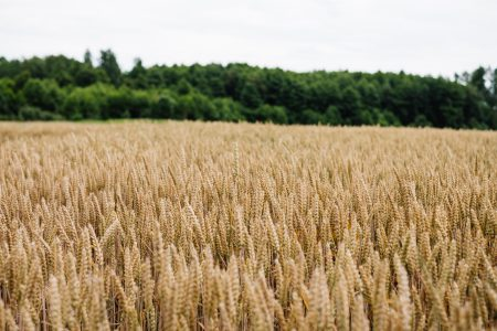 Wheat field 2 - free stock photo