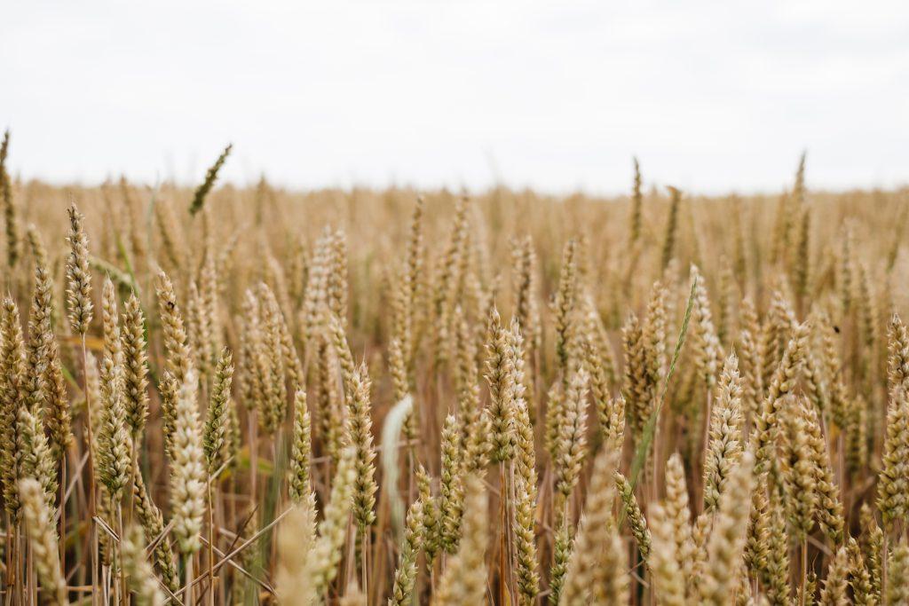 Wheat field closeup - free stock photo