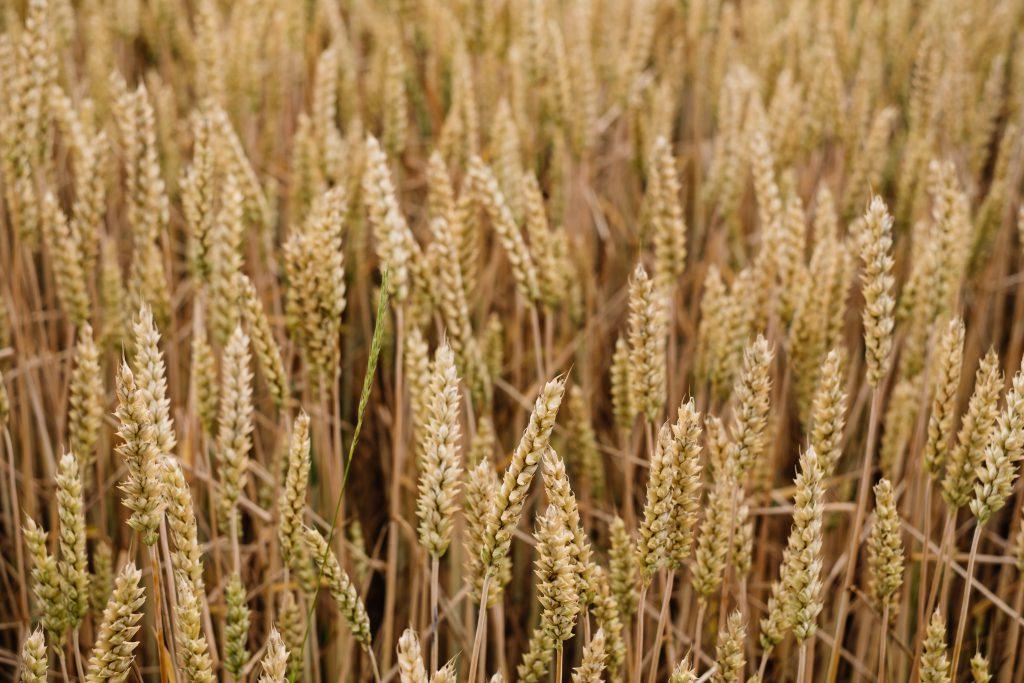 Wheat field closeup 2 - free stock photo