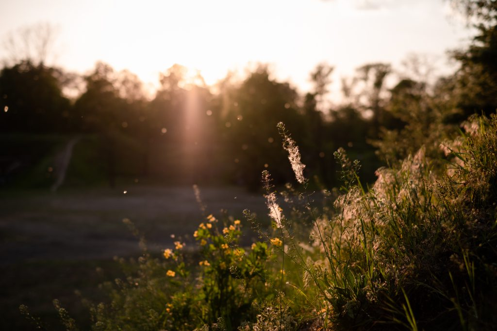 Wild grass and pollen at sunset - free stock photo