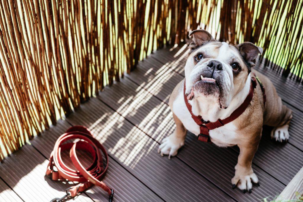 English Bulldog in a harness - free stock photo