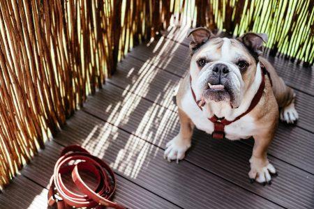 English Bulldog in a harness 2 - free stock photo