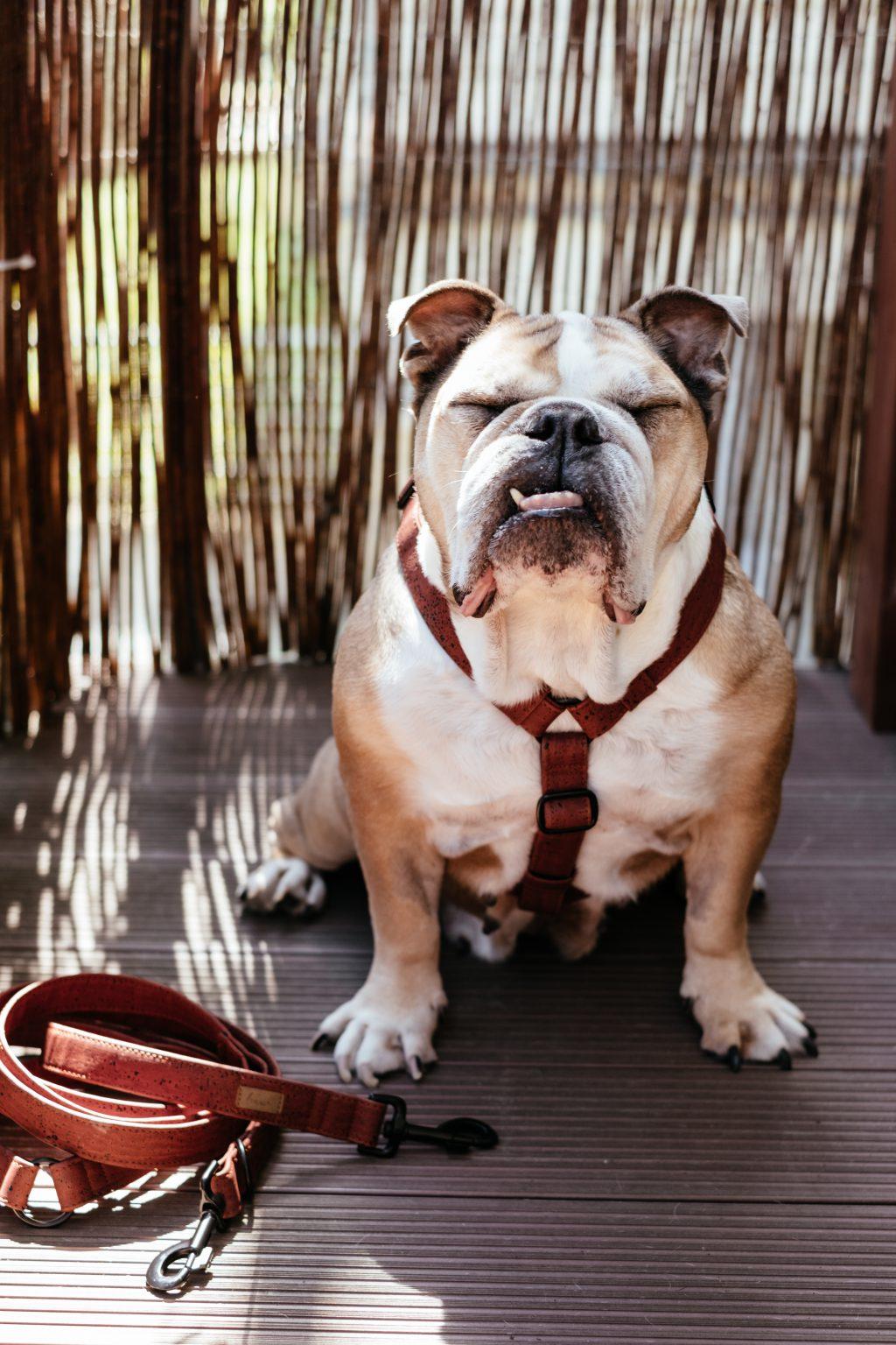 English Bulldog in a harness 3 - free stock photo
