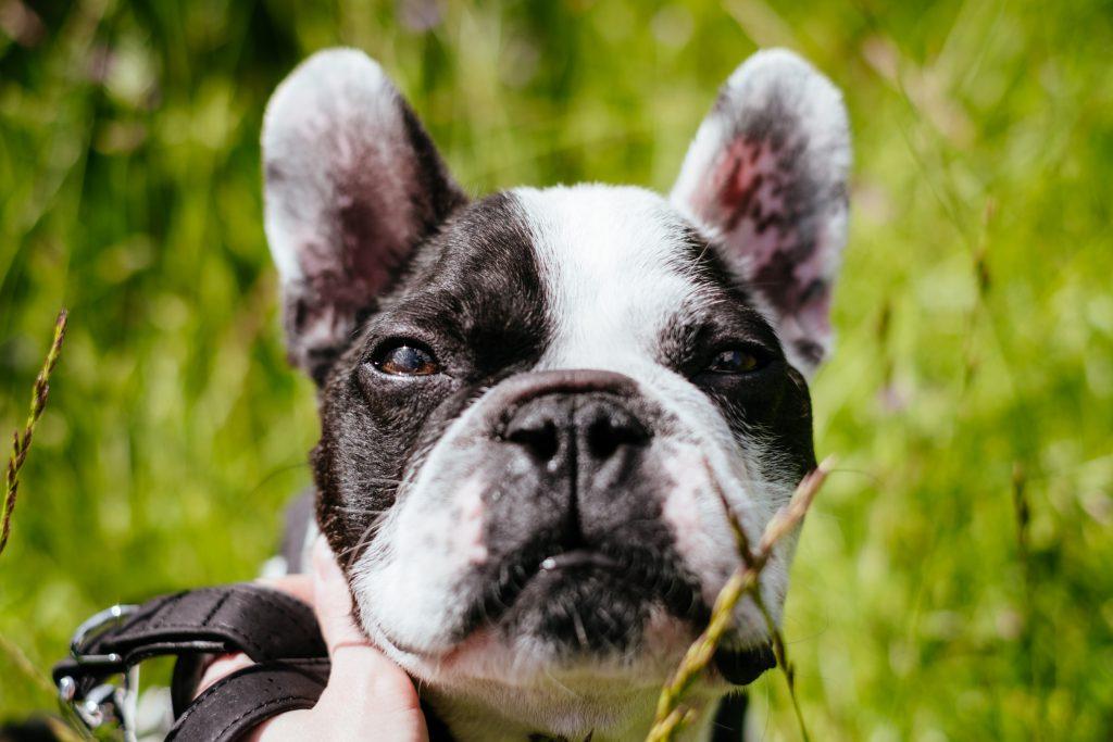 French Bulldog face closeup - free stock photo