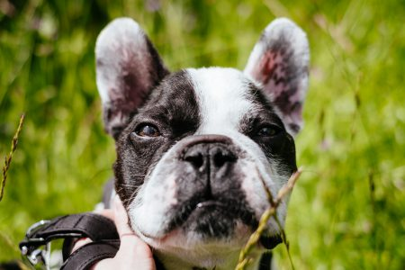 French Bulldog face closeup - free stock photo