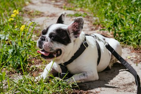 French Bulldog lying in the sun on a hot day - free stock photo