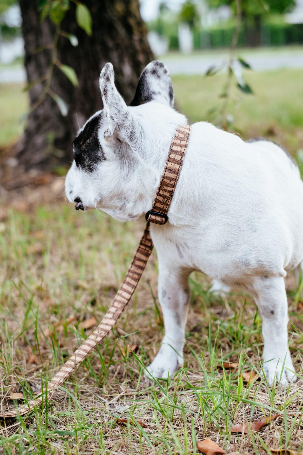 French Bulldog on a leash - free stock photo