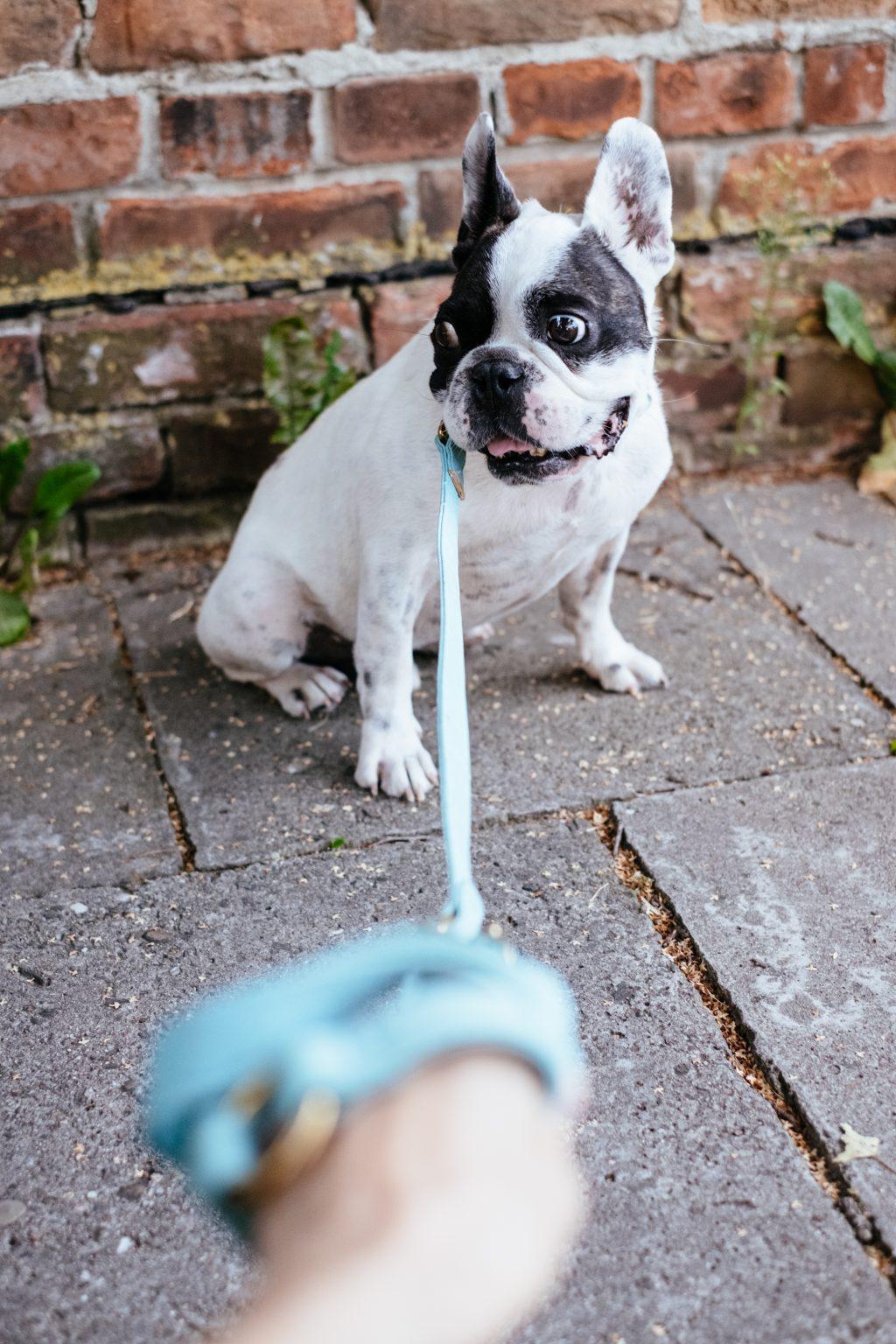 French Bulldog on a leash 6 - free stock photo
