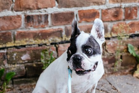 French Bulldog on a leash 6 - free stock photo