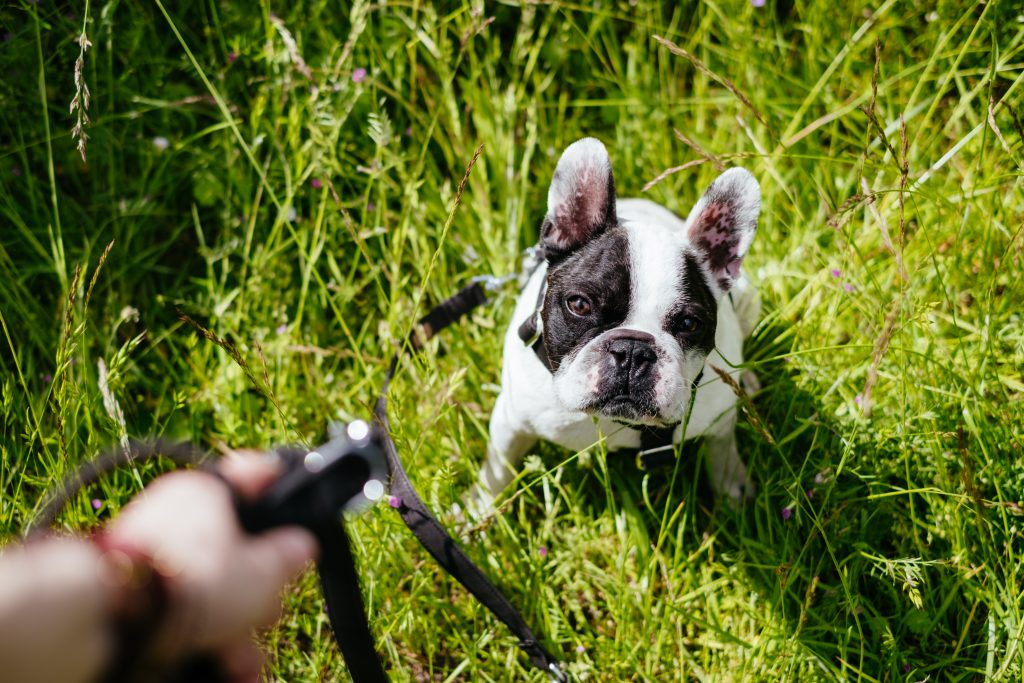 French Bulldog on a leash in the meadow - free stock photo