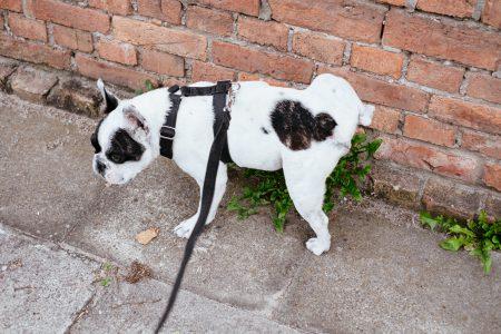 French Bulldog peeing on a plant 2 - free stock photo