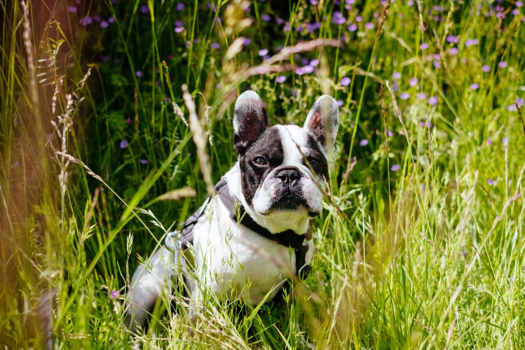 French Bulldog portrait in the meadow - free stock photo