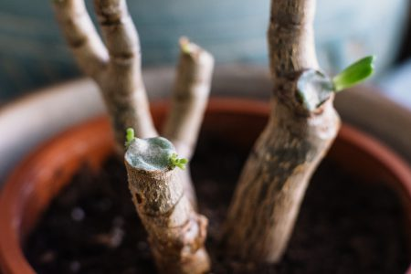 Neglected jade plant coming back to life - free stock photo