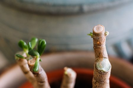 Neglected jade plant coming back to life 2 - free stock photo