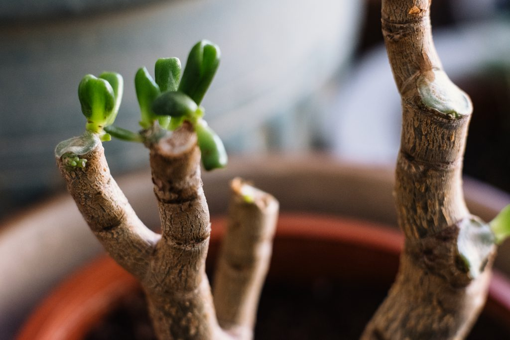 Neglected jade plant coming back to life 3 - free stock photo