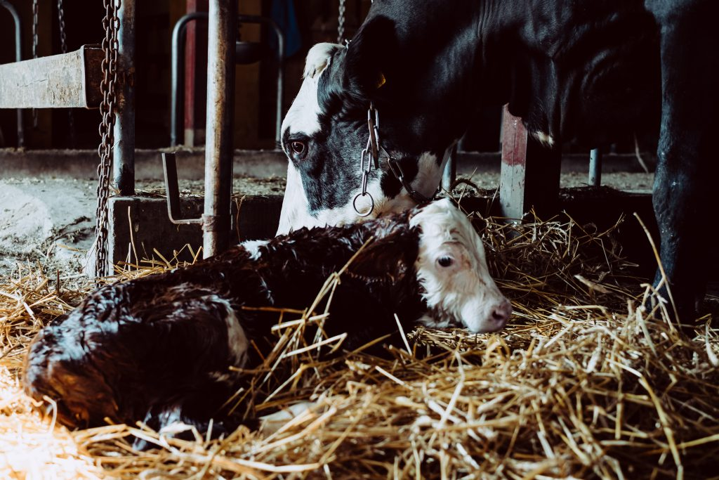 Newborn calf being cleaned by its mother 3 - free stock photo