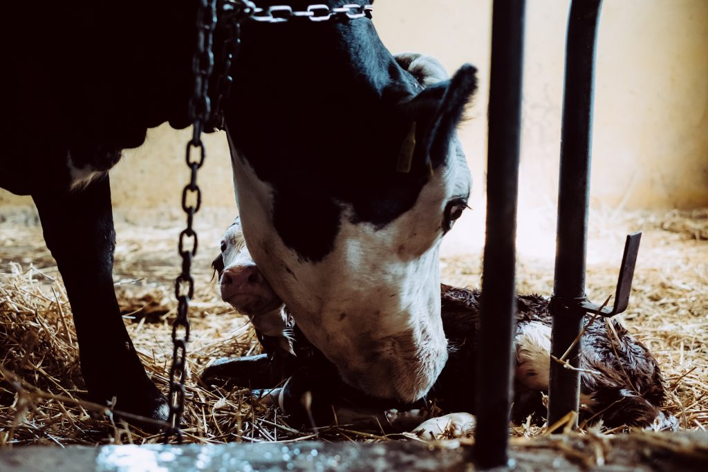 Newborn calf being cleaned by its mother 5 - free stock photo