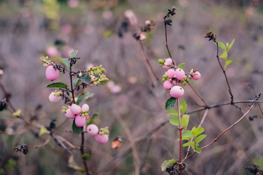 Pink magic berry - free stock photo