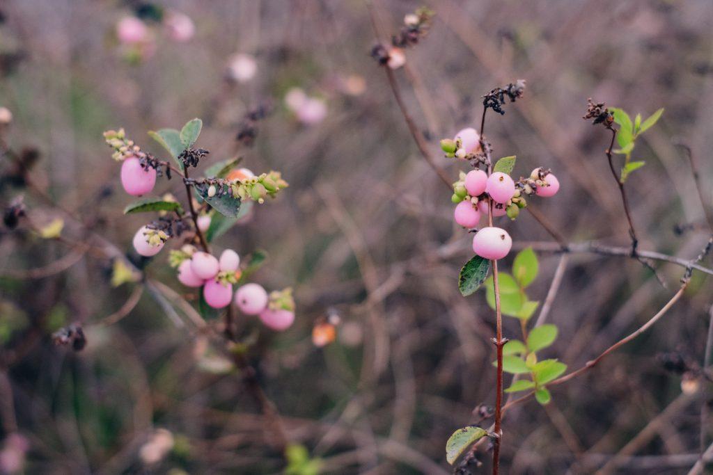 Pink magic berry 2 - free stock photo