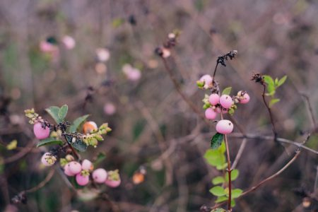 Pink magic berry 3 - free stock photo