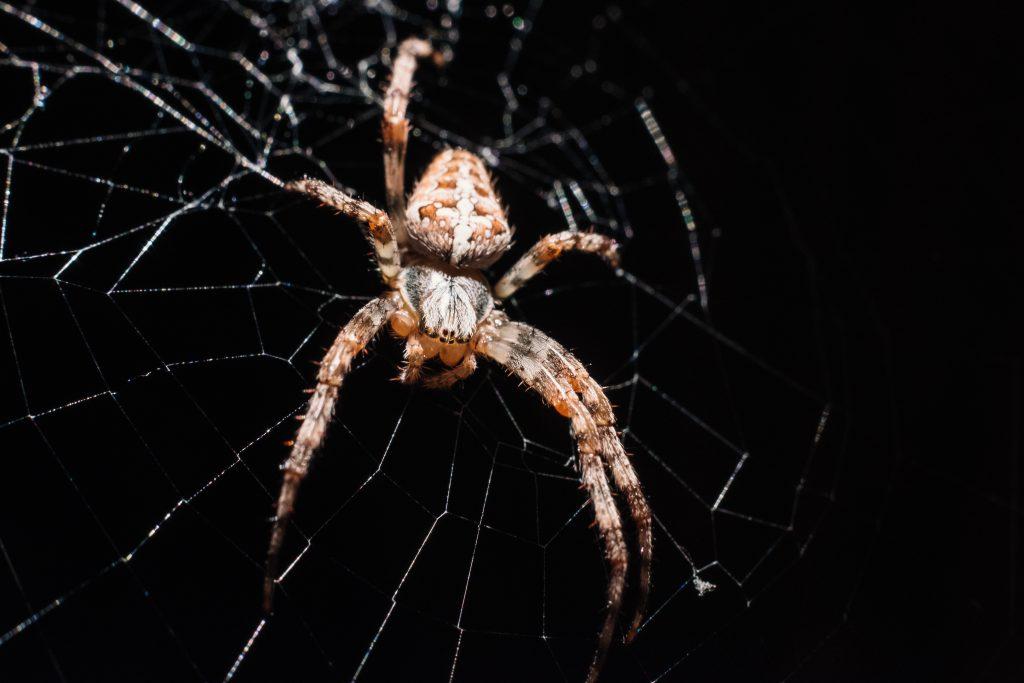 Spider on its web closeup 2 - free stock photo